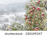 Ripe Red Apples On Branches...