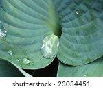 plant hosta | Shutterstock . vector #23034451