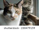 Close Up Calico Cat Sitting On...