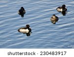 Ring Necked Ducks Swimming On...