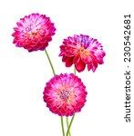 Stock photo dahlias on a white background 230542681