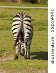 Rear View Of Wild  Zebra Grazing