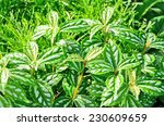 beautiful green leaves of... | Shutterstock . vector #230609659