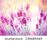 lavender in flower garden | Shutterstock . vector #230685469
