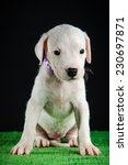 dogo argentino puppy   Shutterstock . vector #230697871