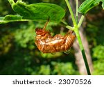 Small photo of A close up of a carcass of cicada with aglare drops of a water on the back.