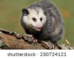 Angry Young Possum