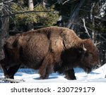 Small photo of Profile of a large bison plodding through the snow facing right, winter in Yellowstone National Park
