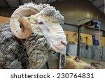 Male merino sheep in australian ...