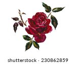 Stock photo dark red rose head with leaves branch original watercolor illustration 230862859