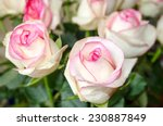 Stock photo bright bouquet of beautiful white pink roses 230887849