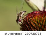 Close Up Of Hoverfly On A...