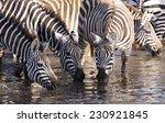 Thirsty Zebras In  Kenya.