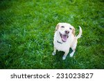 Stock photo dog sits in the green grass smiling 231023827