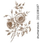 engraved english roses. vector...   Shutterstock .eps vector #231108187