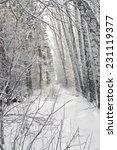 birch forest in winter in black ...   Shutterstock . vector #231119377