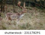 Male Fallow Deer At Mating...