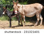 A Donkey Mare With Her New Bor...