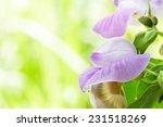 Purple Flower Bean In Garden...