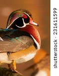 Portrait Of A Wood Duck
