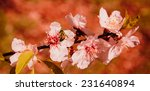 bee toward cherry blossoms in... | Shutterstock . vector #231640894