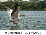 great white pelican  pelecanus... | Shutterstock . vector #231742939