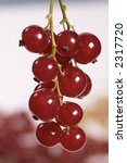 ripe red currant | Shutterstock . vector #2317720