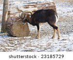 young mouflon outdoors in a... | Shutterstock . vector #23185729