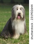 Amazing Bearded Collie Sitting...