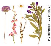 set of wild dry flowers pressed ... | Shutterstock . vector #231950719