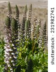 Small photo of Acanthus Mollis or Bee Plant or Bears Breeches growing on sand dunes at a New Zealand beach