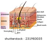skin anatomy diagram with... | Shutterstock . vector #231983035
