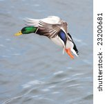 Duck Over Pond
