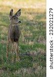 Fawn Mule Deer Is Alert And...