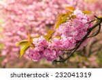 pink flowers on the branches of Japanese sakura blossomed above fresh green grass in spring on blur background - stock photo