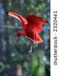 """scarlet ibis""  ""eudocimus... | Shutterstock . vector #2320461"