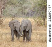 Stock photo  side by side two baby elephants walking side by side tarangire national park near arusha 232097497