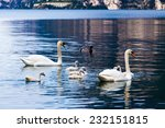 Swan With Chicks. Mute Swan...
