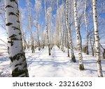 frozen birch alley at winter   Shutterstock . vector #23216203