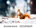 Cute Red Squirrel Looking At...