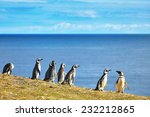Постер, плакат: Many Magellanic penguins in