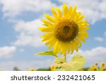 sunflower and blue sky in... | Shutterstock . vector #232421065