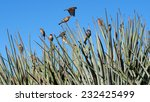 Finches On Yucca Plants