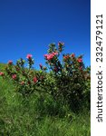 Small photo of Alpine rose plant in the swiss alps