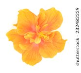Orange Hibiscus Flower Isolate...
