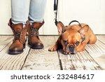 Stock photo brown french bulldog lying on floor waiting for walking 232484617