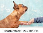 dog   french bulldog gives... | Shutterstock . vector #232484641