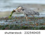 Great Blue Heron (Ardea herodias) adult with algae and freshly caught fish in beak. Vancouver Island, British Columbia, Canada, North America. - stock photo