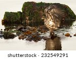 Juvenile Bald Eagle (Haliaeetus leucocephalus washingtoniensis) walking in the water with strechted wings. Vancouver Island, British Columbia, Canada, North America. - stock photo