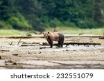 Grizzly Bear (Ursus arctos horribilis) standing next to water pool at the edge of boreal forest. British Columbia, Canada, North America. - stock photo